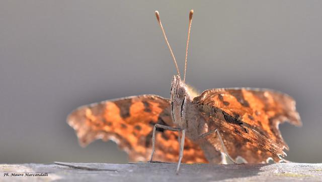 Butterfly incontri di primavera lungo l'Adda