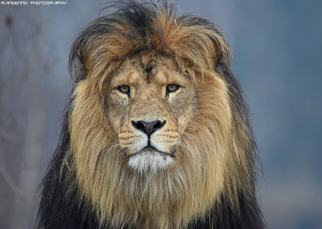 African lion - Safaripark Beekse Bergen