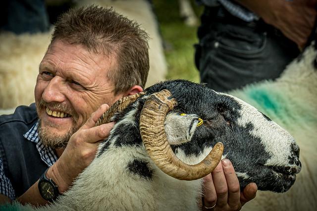 Showing Sheep