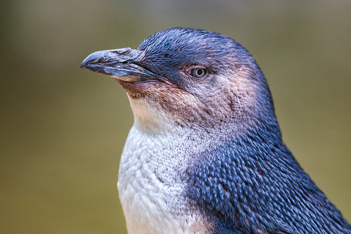 Portrait of a Little Penguin