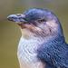 Image: Portrait of a Little Penguin
