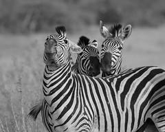 Zebra Concept