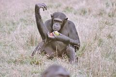 Chimpanzé - Jane Goodall Sanctuaire
