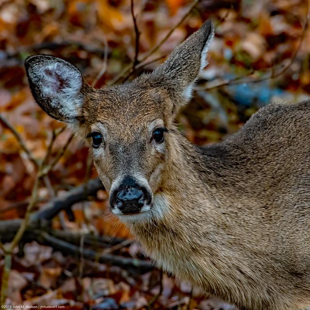 2020.01.11.9184 Deer Portrait