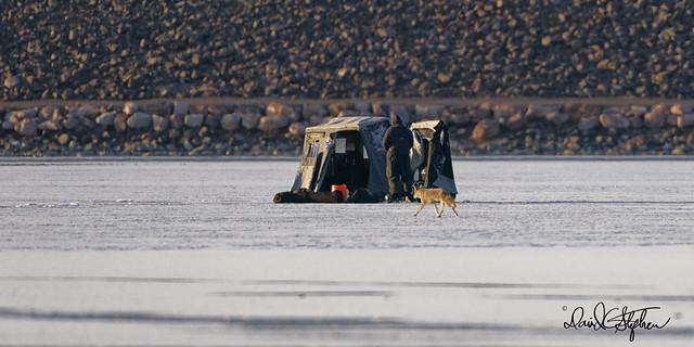 Coyote Sneaks Past Ice Fisherman