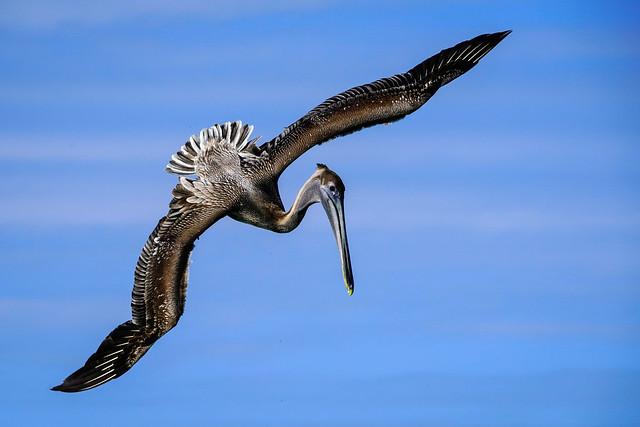 Brown Pelican - Fishing