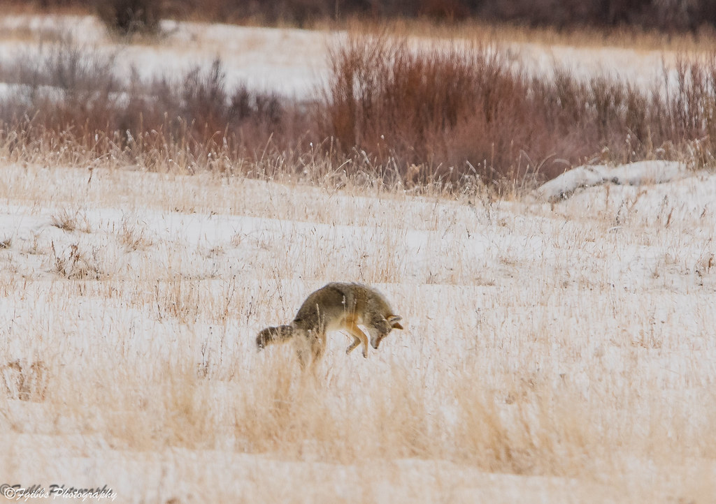 Red Fox pouncing on a Vole.