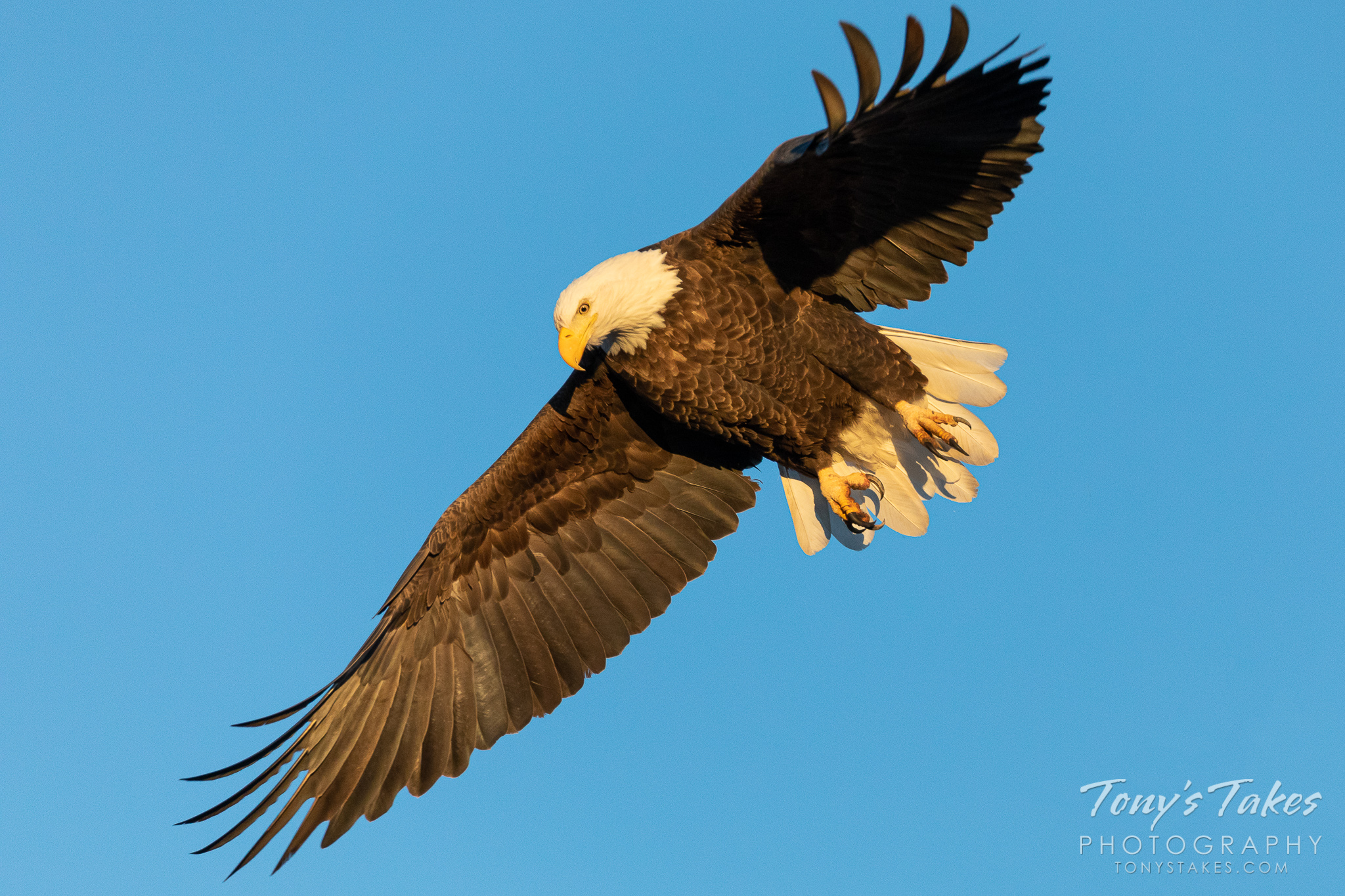 Bald eagle launches into the Colorado blue under golden light