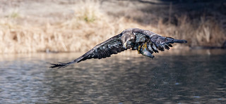 juvenile_bald_eagle_in_flight_with_fish-20200111-103 | by Dagny Gromer