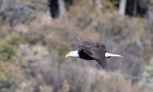 adult_bald_eagle_in_flight-20200111-116