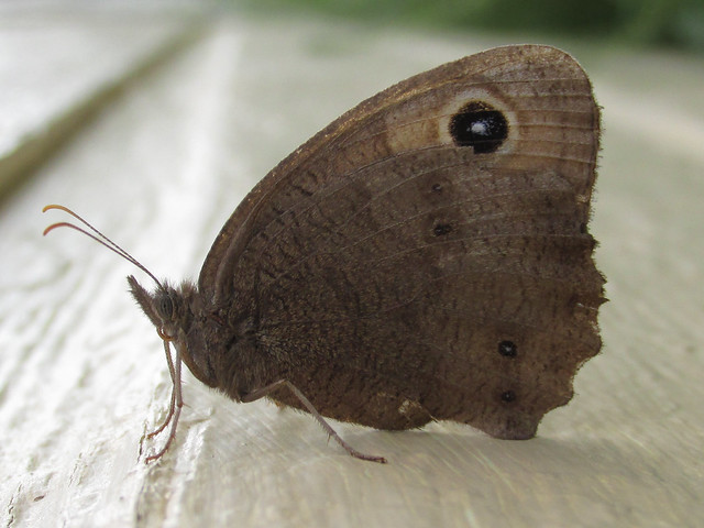 Clouded wood nymph (Cercyonis pegala nephele), female