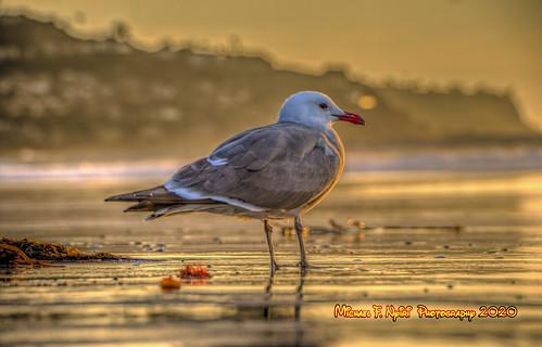 seagull bird sunset seabird golden sand redondobeach california southerncalifornia pacificocean goldenbeachbird