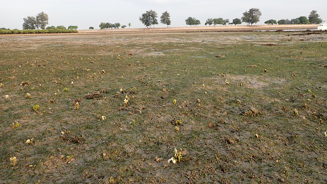 Various seagrasses at Pulau Semakau (South), Jan 2020
