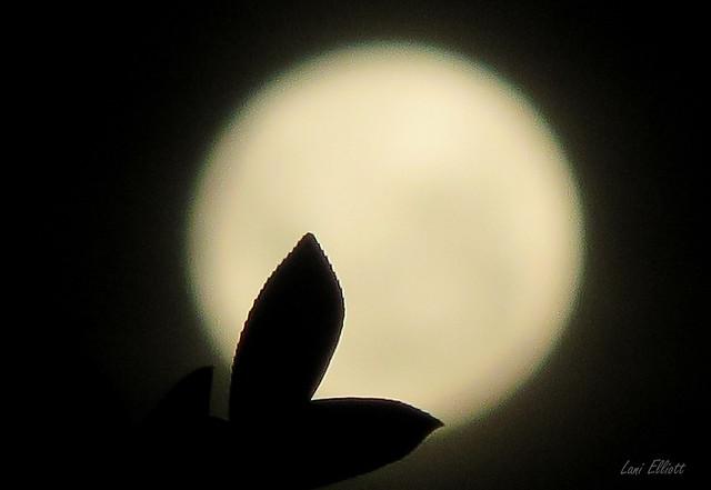 Moon Leaves