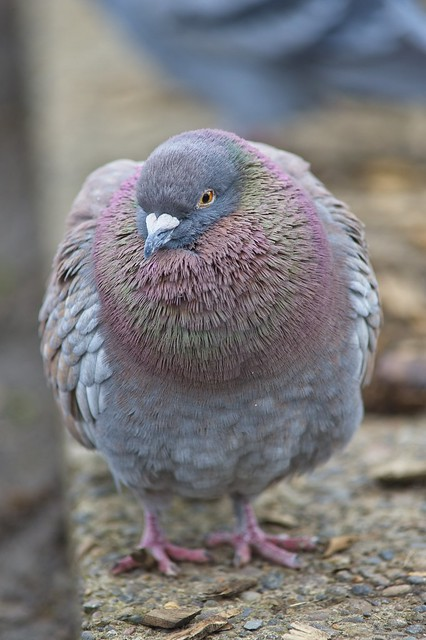 Pigeon at the park