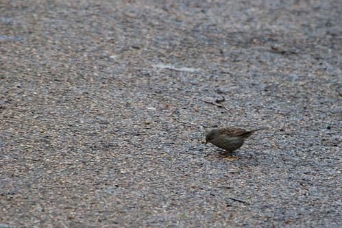 Dunnock on a footpath