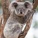 Image: Koala Cuteness