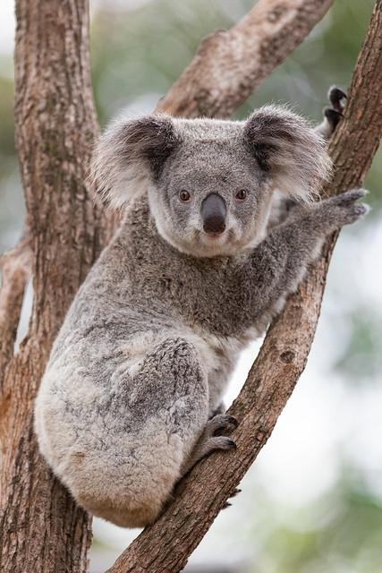 Next: Koala Cuteness