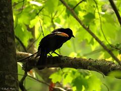 Redwing Blackbird.
