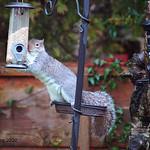 Gotcha !! Guilty looking squirrel raiding the bird feeder, Preston, Lancashire.