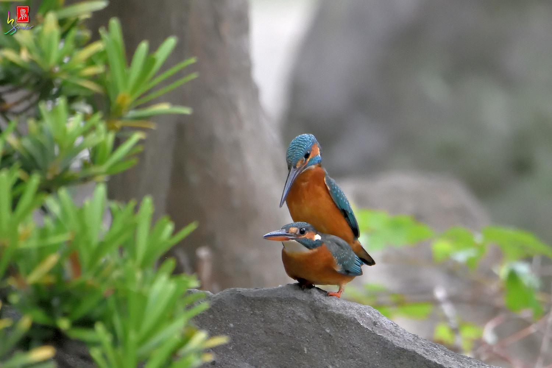 Common_Kingfisher_2788