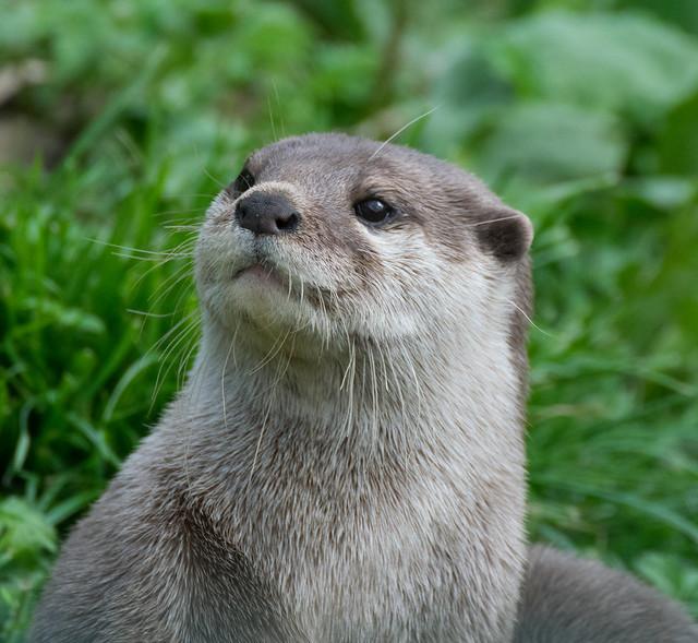 Otter Posing