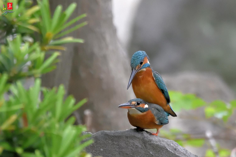 Common_Kingfisher_2790