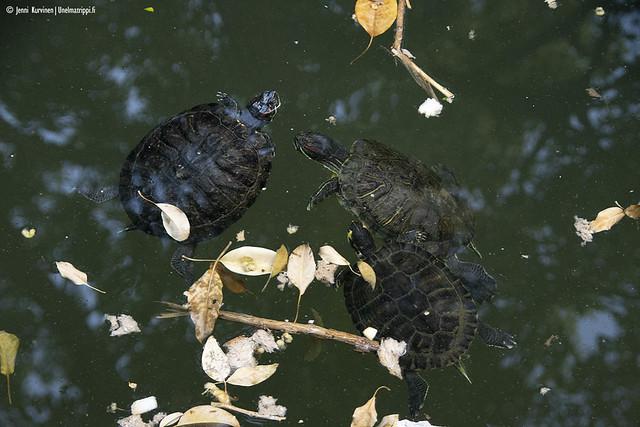 Kilpikonnia lammessa kansallispuutarhassa
