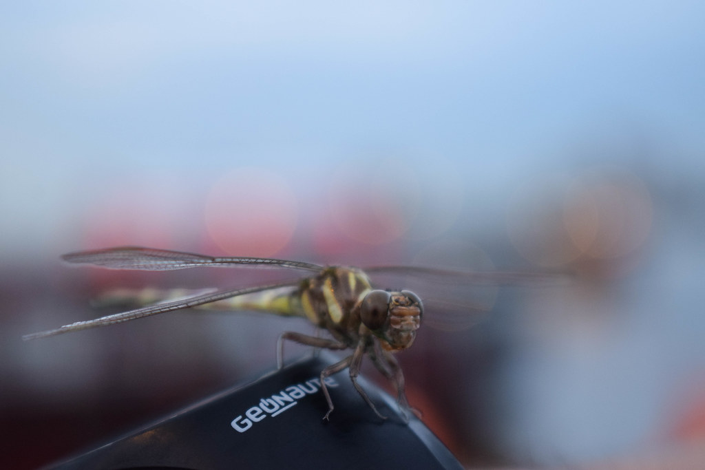 Friendly Dragonfly