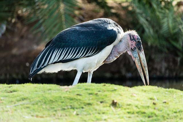 Marabou Stork (Leptoptilos crumenifer)