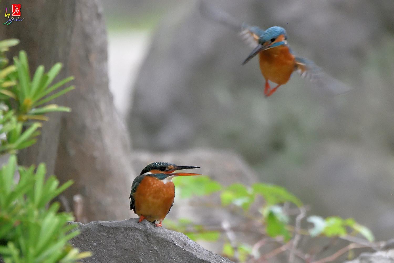 Common_Kingfisher_2782