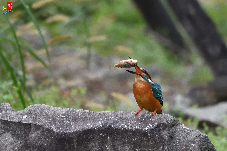 Common_Kingfisher_2083