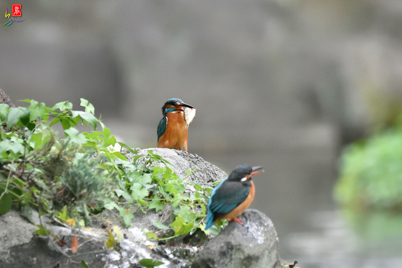 Common_Kingfisher_2059