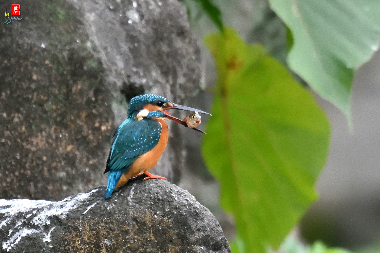 Common_Kingfisher_2013