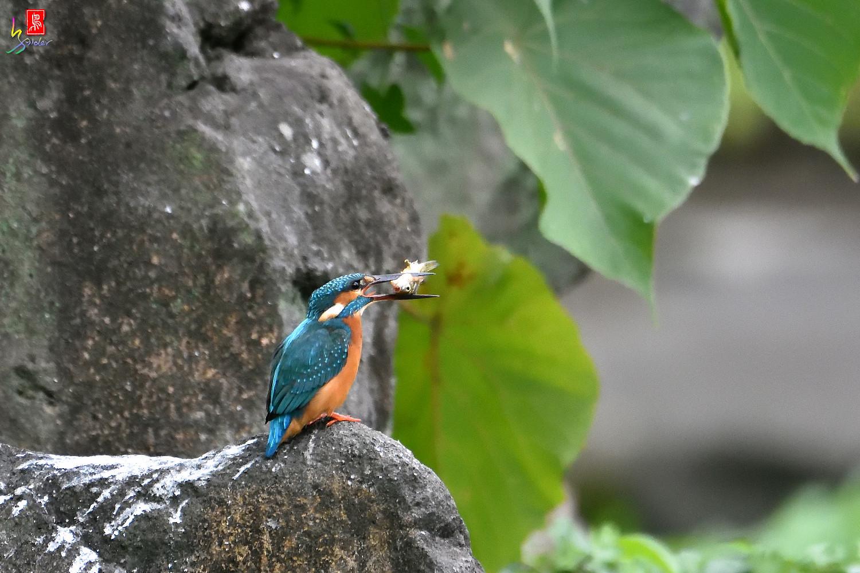 Common_Kingfisher_2025