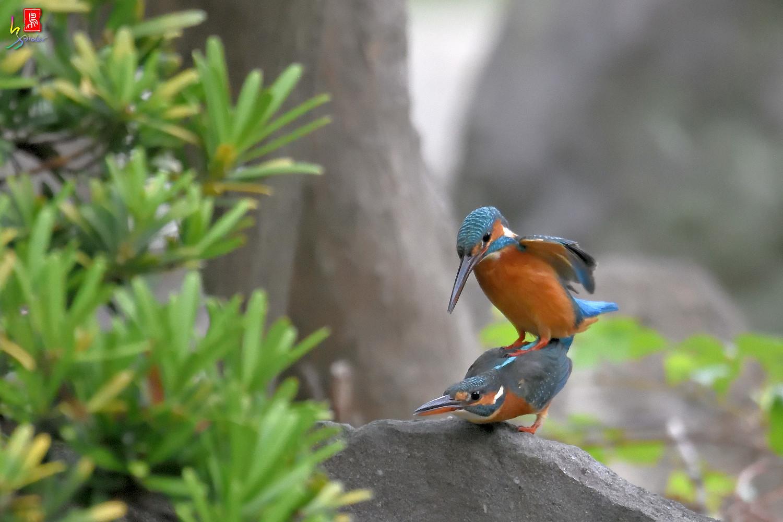 Common_Kingfisher_2785