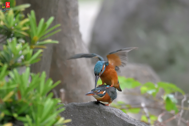 Common_Kingfisher_2784