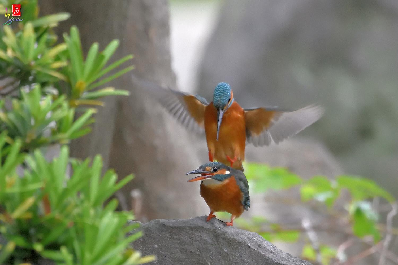Common_Kingfisher_2783