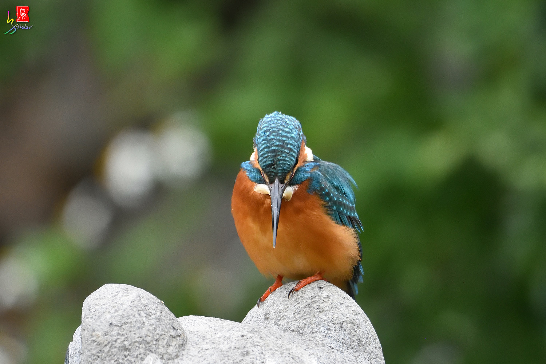 Common_Kingfisher_2412