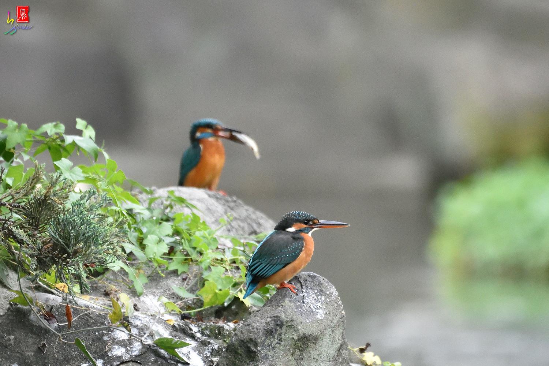 Common_Kingfisher_2047