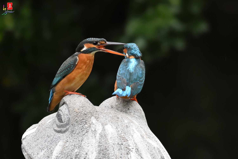 Common_Kingfisher_1957