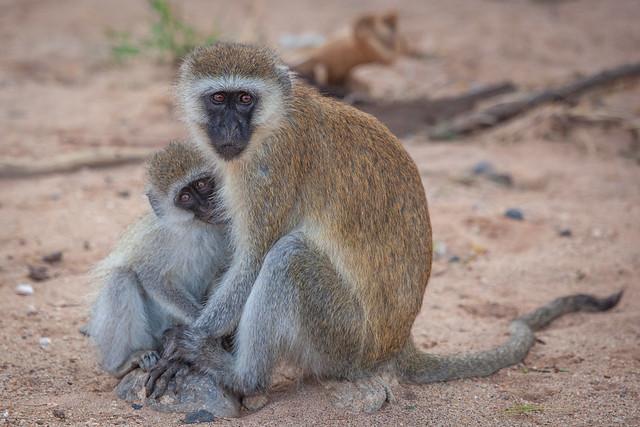 Vervet, Samburu, Kenya