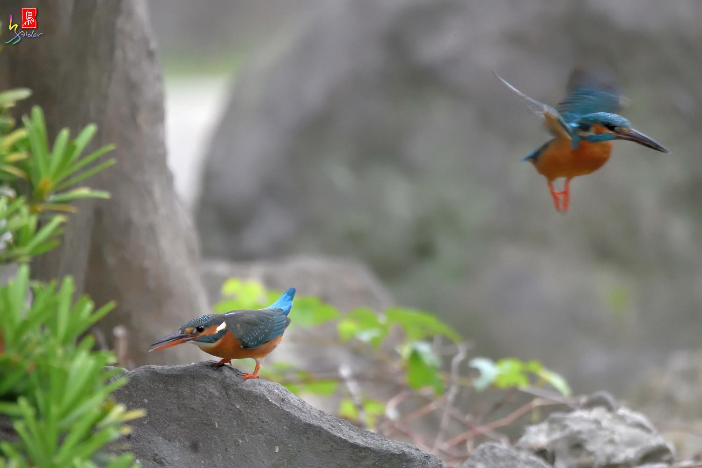 Common_Kingfisher_2792