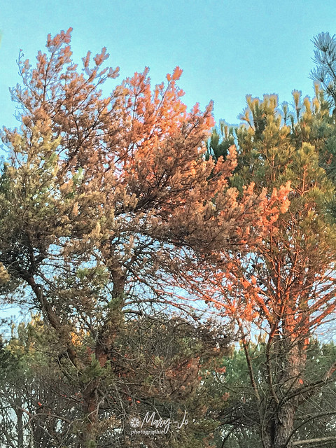 Les arbres semblent s'embraser ... mais se ne sont que les dernières lumières de feu de cette fin de journée ...  The trees seem to be ablaze ... but are only the last lights of fire at the end of the day ...