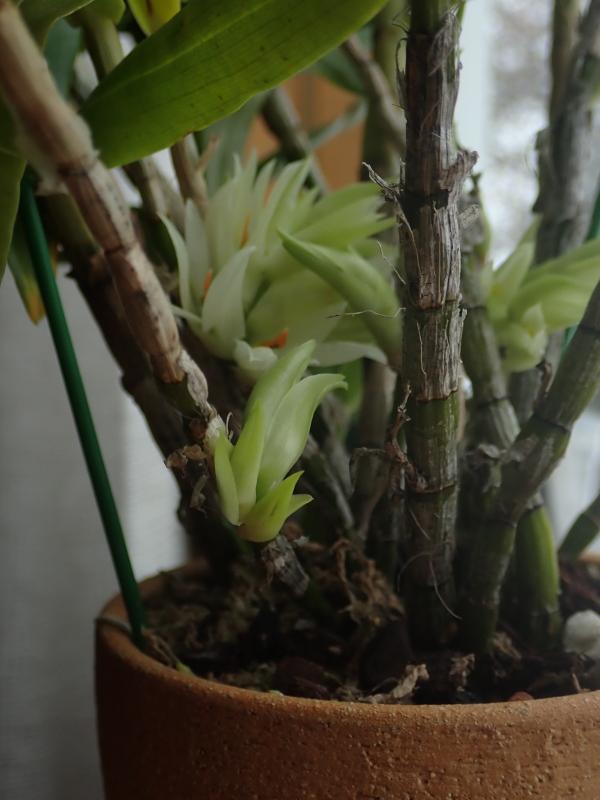 Les Orchidées chez Cloo en 2020 - Page 2 49373227816_5719cceea7_o
