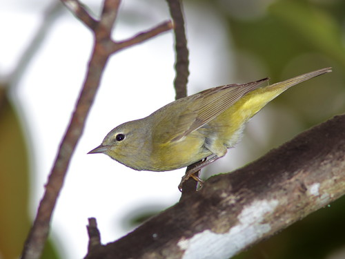 Orange-crowned Warbler 01-20200111