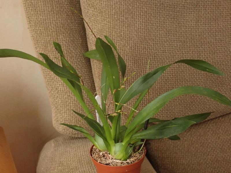 Les Orchidées chez Cloo en 2020 - Page 2 49373429952_11eda36cd9_o