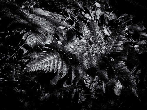 Ferns in monochrome