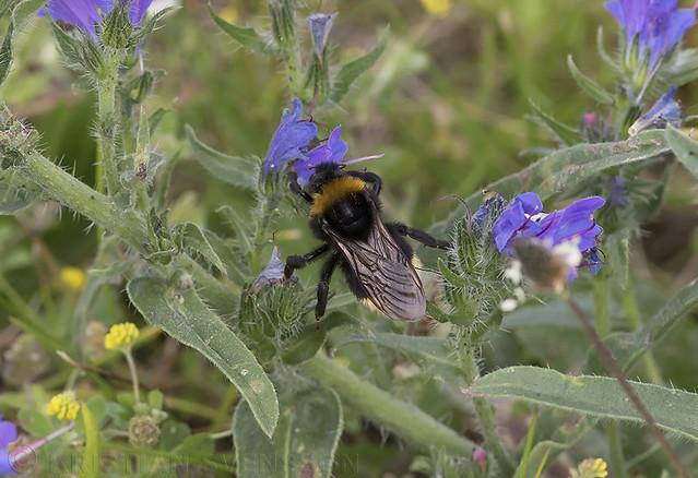 Gypsy Cuckoo Bumblebee (Bombus bohemicus)?