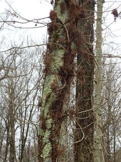 Lichens and Poison Ivy January 2020 by Penny O'Connor